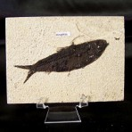 Knightia Fish Fossil